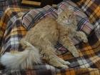 Свежее foto Отдам даром Отдадим рыжего котика! 35870544 в Перми