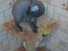 Увидеть foto  Нужен опытный кот на вязку породы донской сфинкс 37342430 в Перми