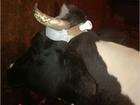 Увидеть фото  продам корову и телку 37578748 в Перми