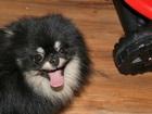 Просмотреть фотографию Вязка собак Красивый кобель померанского шпица для вязки 38648499 в Перми