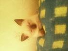 Уникальное foto Вязка кошек кошка поинтовый окрас ждет кота на вязку условия по договоренности 60054346 в Перми