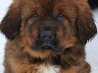 Фотки и картинки Тибетский мастифф смотреть в Перми