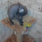 Нужен опытный кот на вязку породы донской сфинкс
