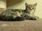 Фотография в   В нашем питомнике породистых кошек «Tolk в Первоуральске 3000