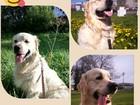 Foto в Собаки и щенки Вязка собак Чудесный Золотистый ретривер Мартин 2 годика в Первоуральске 15000