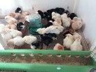 Скачать изображение  Цыплята 38453156 в Первоуральске