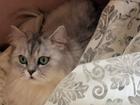 Скачать фото Вязка кошек Вязка с шикарным британцем серебристого окраса 40357086 в Первоуральске