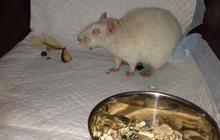 Найдена крыса