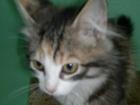 Фотография в Потерянные и Найденные Найденные Найден котенок-девочка, примерно 6 мес. Трехцветка. в Петрозаводске 0