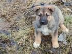 Изображение в Собаки и щенки Продажа собак, щенков Отдам в хорошие руки 2 щенков 2-ухмесячн в Петрозаводске 1