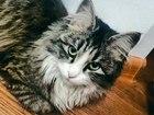 Увидеть фотографию  пропала кошка СЕРАЯ МИНИАТЮРНАЯ ОТЗЫВАЕТЯ ТОЛЬКО НА ИМЯ Лиса 67948057 в Петрозаводске