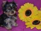 Новое изображение Продажа собак, щенков Продам щенков Йоркширского Терьера 32382446 в Чехове