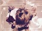 Фотография в Собаки и щенки Вязка собак Мальчик. 1 год ищет девочку для вязки. Очень в Подольске 0