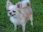 Фото в Собаки и щенки Вязка собак Предлагается кобель для вязок породы чихуахуа в Подольске 5000