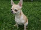 Смотреть фото Вязка собак Предлагается мальчик чихуахуа для вязки 40109525 в Подольске