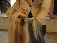 Щенки йорка Красивые щенки йорка из питомника Мари Бижу, мальчики и девочки, ста