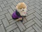 Изображение в Собаки и щенки Вязка собак Карликовый шпиц (девочка) 2 года . Окрас в Приозерске 0