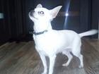 Смотреть foto Вязка собак Предлагается для вязки кобель чихуахуа 39532003 в Рассказово
