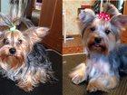 Фото в Собаки и щенки Стрижка собак Сертифицированный грумер предлагает комплекс в Рязани 699