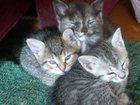 Домашняя кошка фото в Рязани