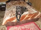 Свежее foto Вязка собак Двухлетний кобель Кане Корсо ищет подругу для вязки, не развязан, 38950433 в Рязани