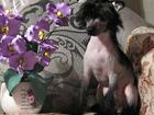Китайская хохлатая собака фото в Рязани