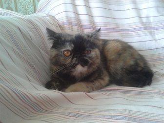 Скачать фото  кошечка экзотической породы ищет котика на вязку 33267630 в Рязани