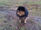 Увидеть фотографию Вязка собак Мальчик немецкого шпица Луи Витон 34078331 в Рославле