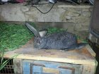 Фото в Домашние животные Грызуны Молодняк кроликов. Возраст от 1 до 2, 5 мес. в Ростове-на-Дону 500