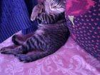 Фото в Отдам даром - Приму в дар Отдам даром отдам срочно котенка мальчик очень умный в Ростове-на-Дону 0