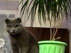 Фотография в   Ищем кота британца прямоухого! Для первой в Новочеркасске 0