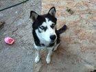 Новое изображение Потерянные Помогите найти собаку 34458848 в Ростове-на-Дону