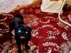 Фотография в Собаки и щенки Вязка собак Девочка 07. 03. 2016 будет 2года. . . привита. в Ростове-на-Дону 0