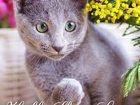 Фотография в Кошки и котята Продажа кошек и котят питомник Sheer Love/ Краснодар/Сочи предлагает в Ростове-на-Дону 38000