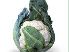 Скачать фотографию Разное Семена цветной капусты МИСОРА F1 фирмы Китано 36626725 в Ростове-на-Дону