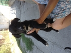 Смотреть фотографию  Отдам даром щенков 37179527 в Ростове-на-Дону