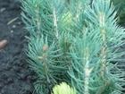 Свежее фотографию Растения Сеянцы ели голубой 37193056 в Ростове-на-Дону