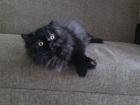 Фото в Кошки и котята Вязка Ищу персидского кота для вязки. Кошка развязана, в Ростове-на-Дону 0