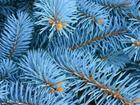 Свежее фото Растения Ель голубая 10 метров к Новому Году 37973346 в Ростове-на-Дону