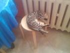 Фото в Кошки и котята Вязка Серебряная бенгальская кошечка, без документов, в Аксае 0