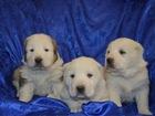 Изображение в Собаки и щенки Продажа собак, щенков Предлагаются к продаже щенки средне-азиатской в Ростове-на-Дону 25000