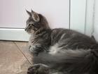Фотография в   Продается котенок мейн-кун, очень крупный, в Ростове-на-Дону 20000