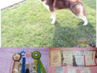 Скачать изображение Вязка собак Предлагается для вязки титулованный кобель сибирской хаски! 38781097 в Ростове-на-Дону