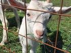 Смотреть изображение Другие животные Козлята Зааненской породы 38908341 в Ростове-на-Дону