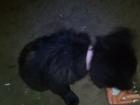 Просмотреть фотографию Потерялись животные Найден щенок,Рана на спине,ошейник,Почти черный, Похожий на породистого, Ростов-на-Дону 66389032 в Ростове-на-Дону