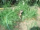 Уникальное foto Отдам даром - приму в дар отдам трёхцветного котёнка мышелова 68079501 в Ростове-на-Дону