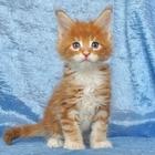 Котик мейн-кун – рыжий лисёнок