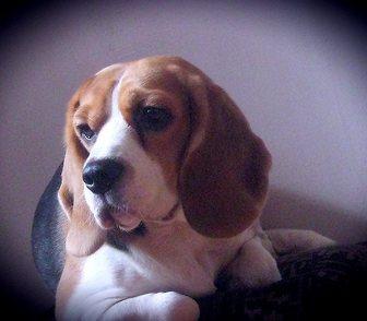 Изображение в Собаки и щенки Продажа собак, щенков Малыши бигля из питомника MIDATEL EMPIRE. в Бийске 0
