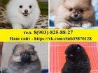 Фотография в Собаки и щенки Продажа собак, щенков Шпица чистокровных и не чистокровных щеночков в Рыбинске 8500