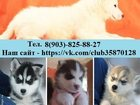 Изображение в Собаки и щенки Продажа собак, щенков Хасеньки хорошие, добрые умные, чистокровные в Рыбинске 123